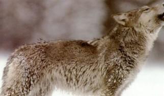 Το metal έσωσε 13χρονο από λύκους στη Νορβηγία