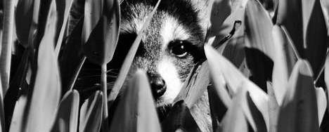 Rocking Raccoon - Όταν η μάνα μου γνώρισε τους Μέηντεν