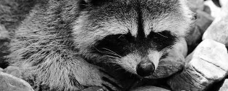 Rocking Raccoon - Κριτικές του Κώλου