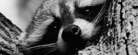 Rocking Raccoon - Τρικοτρητ;