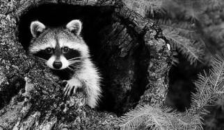 Rocking Raccoon - Χέη Ντιντζέη, βαλ' το Κουτσουμπιλά