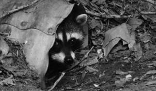 Rocking Raccoon - O Φίλος μου ο Γούγλης