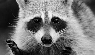 Rocking Raccoon - Skrillex remixes Μetallica