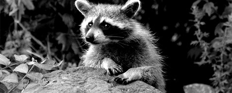 Rocking Raccoon - Όλοι Γκρίνγκος Λόκος