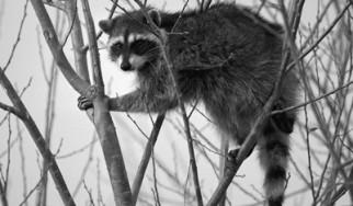 Rocking Raccoon - How Kiss Saved The Day