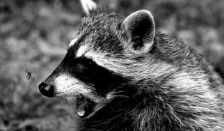 Rocking Raccoon - Ελληνικό Κίλτ