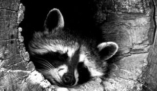 Rocking Raccoon - Pallada